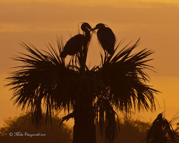Photograph - Nesting Herons Silhouette by Mike Fitzgerald