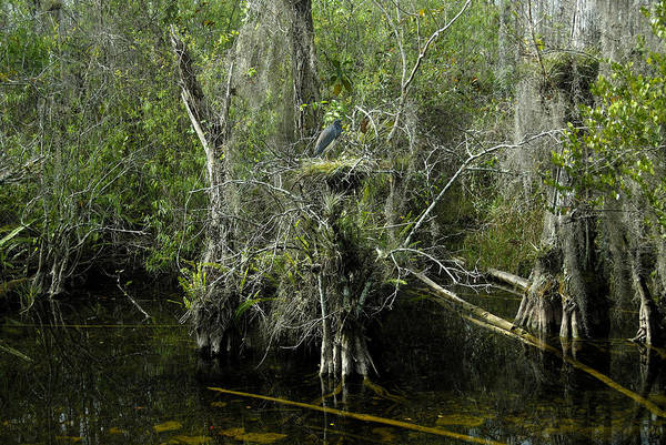Bald Cypress Photograph - Nesting In Big Cypress by David Lee Thompson