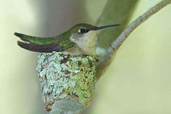 Photograph - Nesting Ruby-throated by Dale J Martin