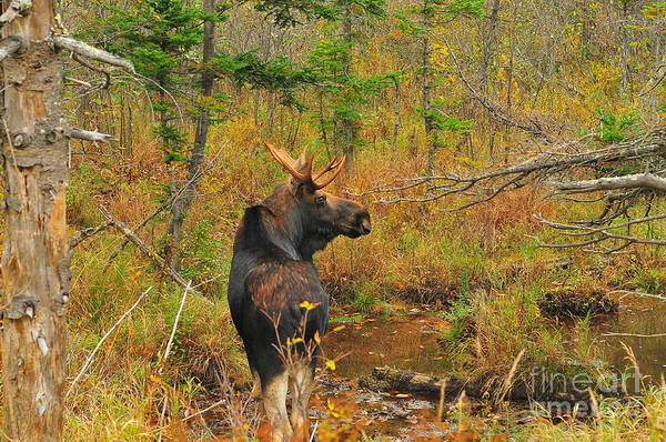 Moose Art Photograph - New Hampshire Bull Moose by Catherine Reusch Daley