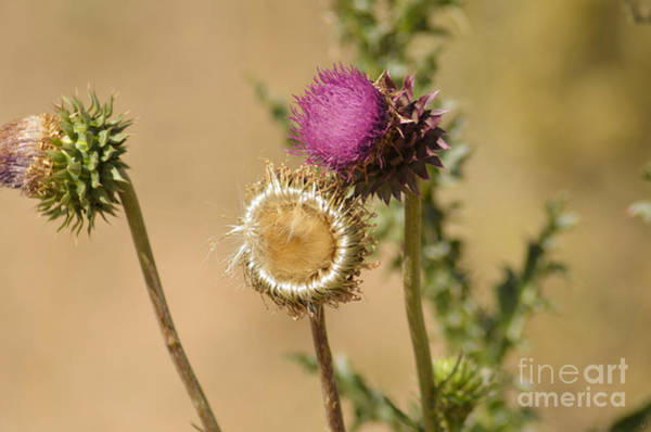 Photograph - New Mexico Thistle II by Donna Greene