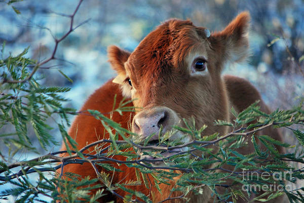 Photograph - New Years Morning Cow by Donna Greene
