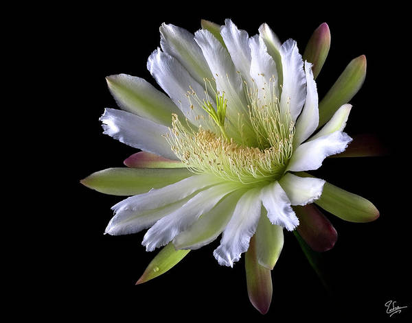Photograph - Night Blooming Cereus by Endre Balogh