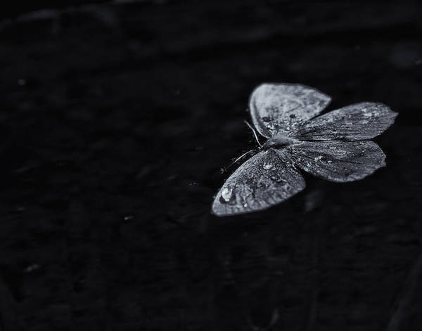 Moth Photograph - Night Moves by Susan Capuano