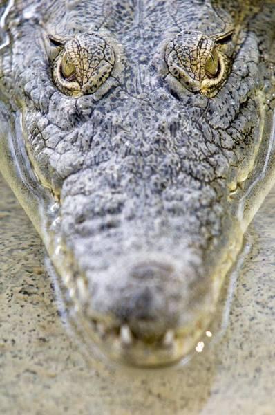 Bankside Photograph - Nile Crocodile by Photostock-israel