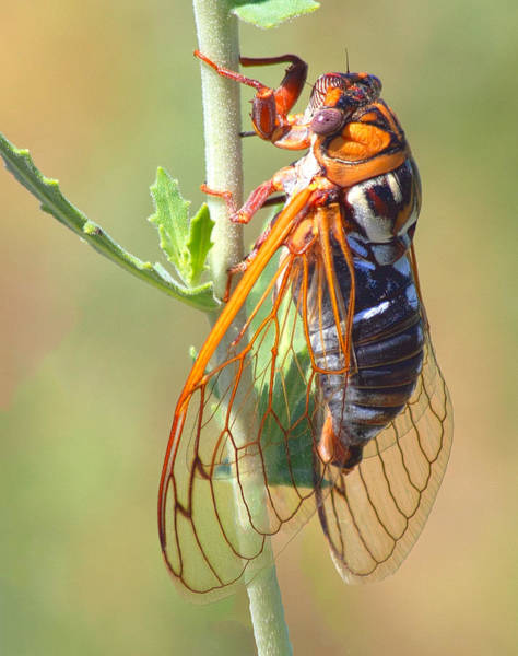Chirping Photograph - Noisy Cicada by Shane Bechler