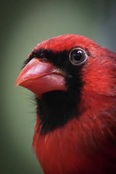 Photograph - North American Cardinal by James Woody