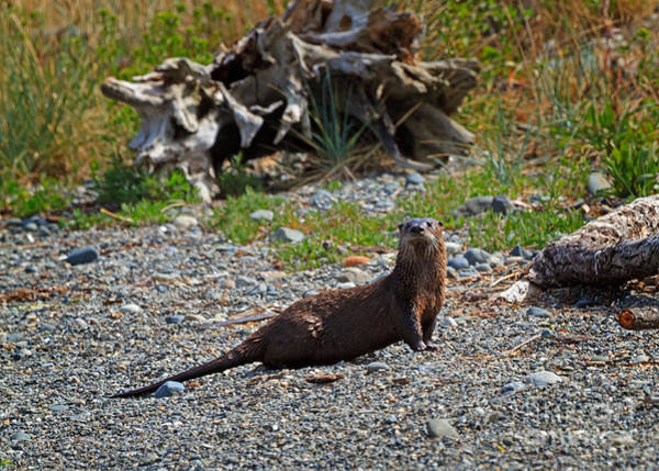 Wall Art - Photograph - North American River Otter by Louise Heusinkveld