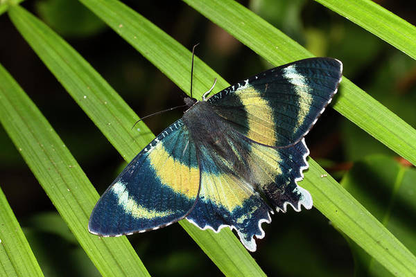 Atherton Tablelands Photograph - North Queensland Day Moth Alcides by Konrad Wothe