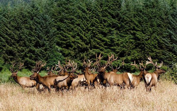 Photograph - Northcoast Elk Along The 101 by Lorraine Devon Wilke