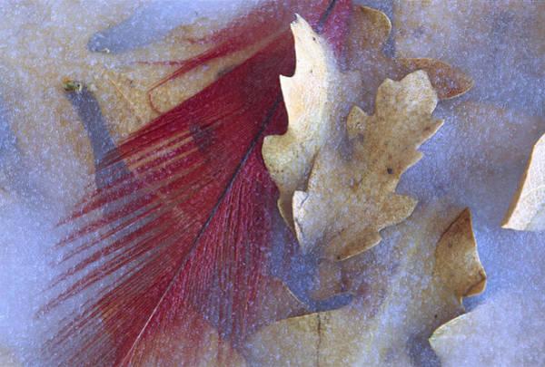 Photograph - Northern Cardinal Cardinalis Cardinalis by Tim Fitzharris