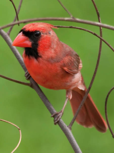 Photograph - Northern Cardinal by Dan McManus