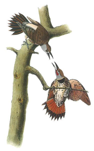 Northern Flicker Painting - Northern Flicker by John James Audubon
