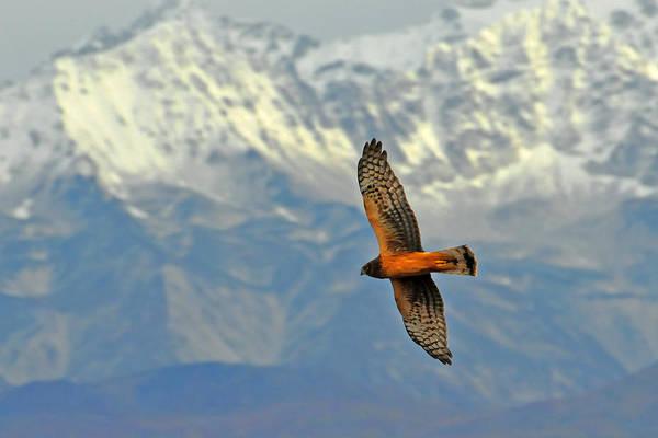 Wall Art - Photograph - Northern Harrier by Alan Lenk