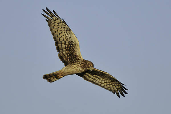 Photograph - Northern Harrier by Bradford Martin