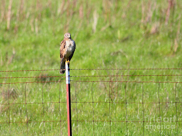 Photograph - Northern Harrier Marsh Hawk Perched On A Fence . 40d12029 by Wingsdomain Art and Photography
