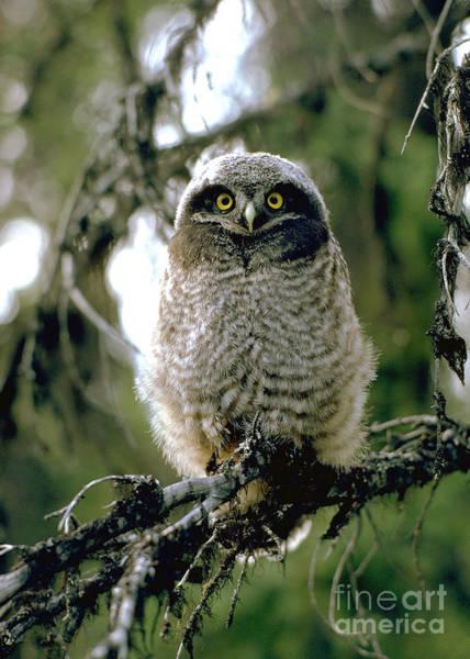 Wall Art - Photograph - Northern Hawk Owl Fledgeling by Doug Herr