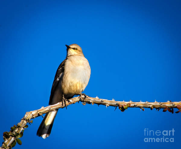 Northern Arizona Wall Art - Photograph - Northern Mockingbird by Robert Bales