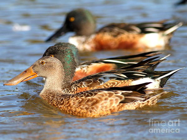 Photograph - Northern Shoveler Ducks . 7d8624 by Wingsdomain Art and Photography
