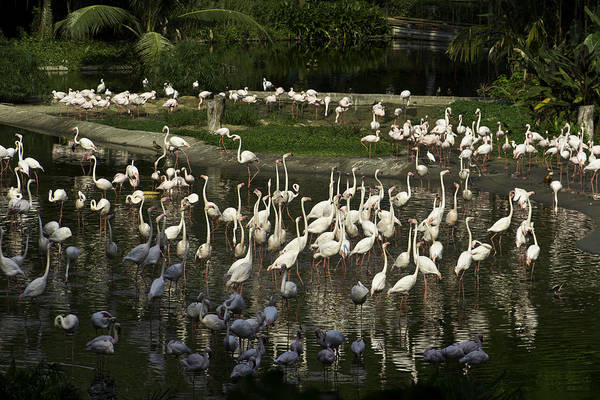 Jurong Bird Park Photograph - Number Of Flamingoes Inside The Jurong Bird Park In Singapore by Ashish Agarwal