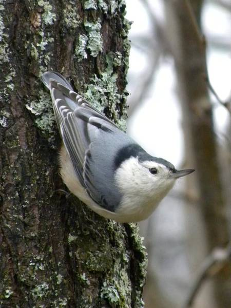 Photograph - Nuthatch by Peggy  McDonald