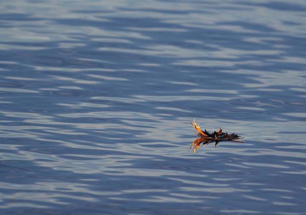 Photograph - Oak Leaf Floating by Daniel Reed