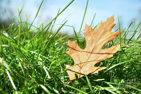 Wall Art - Photograph - Oak Leaf In The Grass by Sandra Cunningham