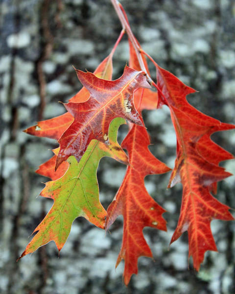 Photograph - Oak Leaves by Gerry Bates