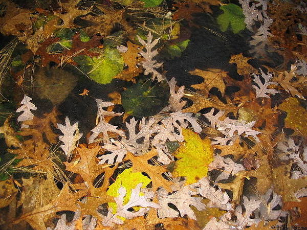 Mixed Media - Oak Leaves Under Ice by Bruce Ritchie