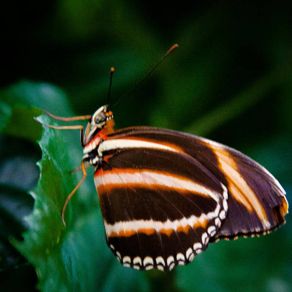Photograph - Oak Tiger Butterfly by David Patterson