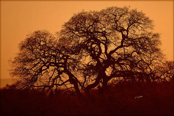 Photograph - Oak Tree At Sunset by Rima Biswas