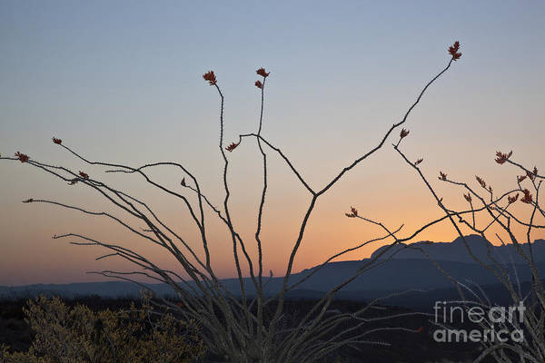 Chisos Mountains Photograph - Ocotillo At Sunrise In Big Bend Natl by Greg Dimijian