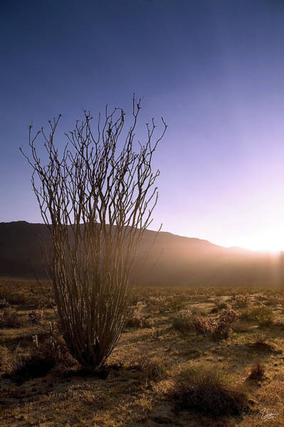 Photograph - Ocotillo At Sunset by Endre Balogh