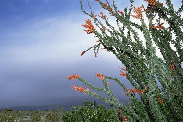 Photograph - Ocotillo Fouquieria Splendens Cactus by Konrad Wothe