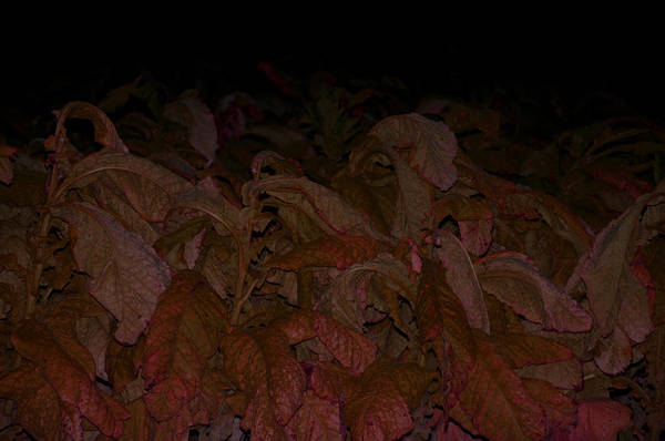 Wall Art - Photograph - Of Tobacco by Affini Woodley