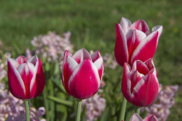 Wall Art - Photograph - Oh Tulips by Betsy Knapp