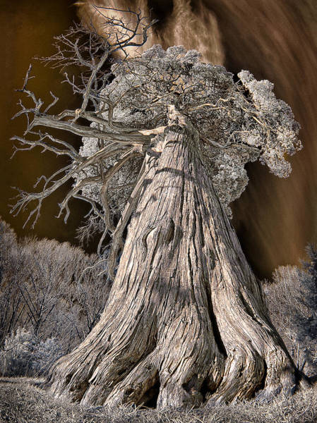 Photograph - Old Cedar by Steve Zimic