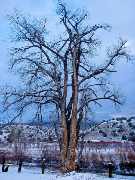 Photograph - Old Cottonwood by Atom Crawford