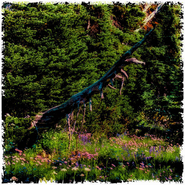 Photograph - Old Growth Fallen by David Patterson