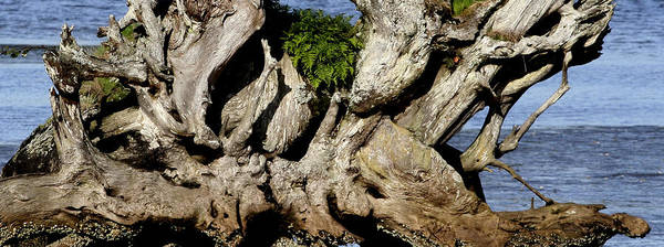 Old Tree  Art Print by Mary Gaines