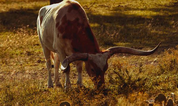 Rader Photograph - Older Texas Long Horn  by Kelly Rader