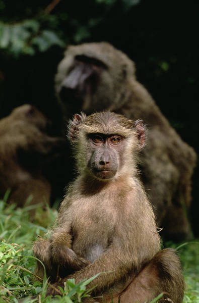Gombe National Park Wall Art - Photograph - Olive Baboon Papio Anubis Young, Gombe by Gerry Ellis