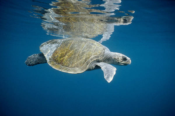Photograph - Olive Ridley Sea Turtle Lepidochelys by Tui De Roy