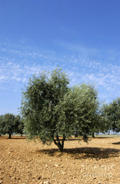 Olive Oil Photograph - Olive Tree In Provence by Bernard Jaubert