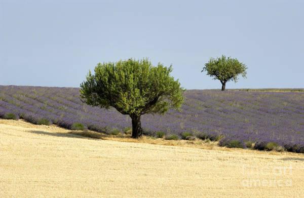 Farmstead Photograph - Olives Tree In Provence by Bernard Jaubert