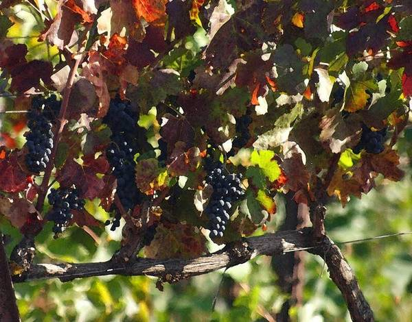 Photograph - On The Vine Before The Wine by Tony and Kristi Middleton
