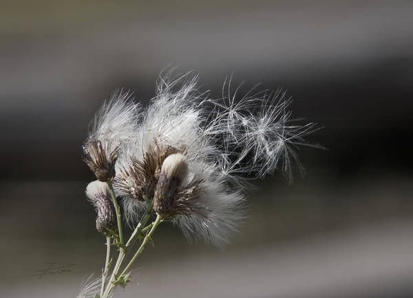 Dandelion Puff Photograph - On The Wind by Barbara  White