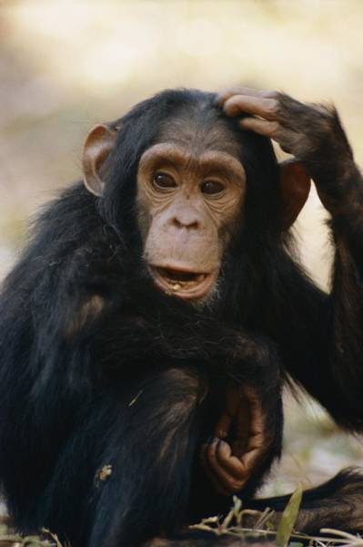 Gombe National Park Wall Art - Photograph - One Of The Many Chimpanzees by Kenneth Love