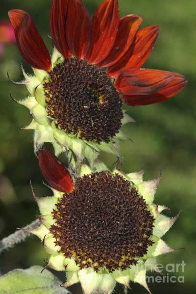 Sunflower Seeds Photograph - One Petal by Deborah Benoit
