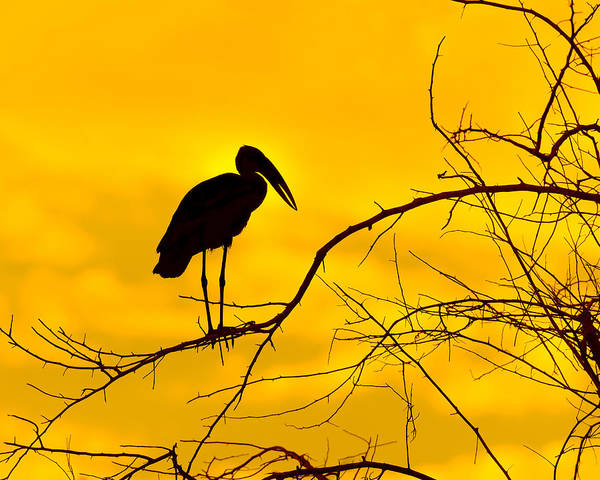 Photograph - Open-billed Stork  by Tony Beck